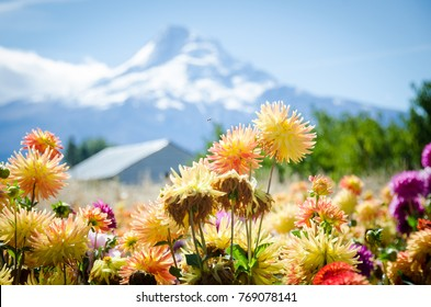 Mount Hood Oregon with Colorful Dahlia Flowers and a Fly in the Foreground