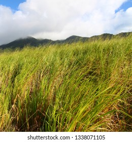 Mount Liamuiga from the sugar cane fields of Saint Kitts