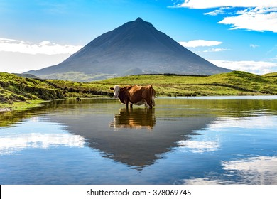 Mount Pico and a cow standing in water, reflected in a nearby lake