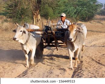 MOUNT POPA, MYANMAR - FEBRUARY 19, 2013: A farmer is driving a bullock cart along a sandy path near Mount Popa, Myanmar.