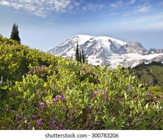 Mount Rainier and the wild flower
