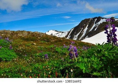 Mount Roberts Juneau Alaska and Lupine Wild Flowers in the Foreground