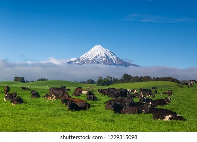Mount Taranaki with snow capped under the blue sky with grass field and cows as a foreground in the Egmont National Park, the most symmetrical volcanic cones, Tranaki, New Zealand