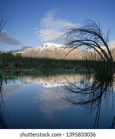 Mount Tom reflected in small pool in the Owens Valley with reeds and branches
