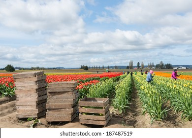 MOUNT VERNON, WA - APR 10, 2014: Migrant Workers Picking Tulips on Commercial Flower Farm in Skagit Valley, north of Seattle. Pallets for cut stems stacked in front of tulip field.