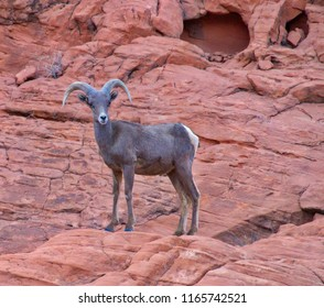 Mountaim goat in Valley of Fire, Nevada, USA