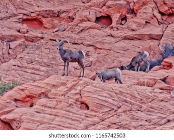 Mountaim goats in Valley of Fire, Nevada, USA