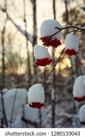mountain ash ashberry under snow close up