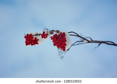 mountain ash ashberry under snow and sky