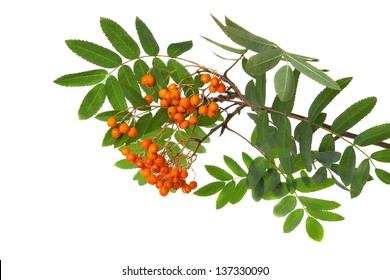 Mountain ash branch isolated on a white background
