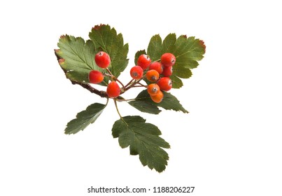 mountain ash isolated on white background