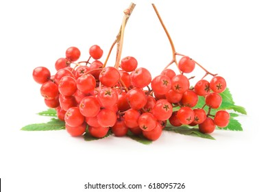 Mountain ash isolated on a white background cutout