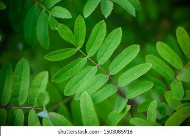 Mountain ash leaf. Rowan leaves close-up. Beautiful rowan leaves photo background