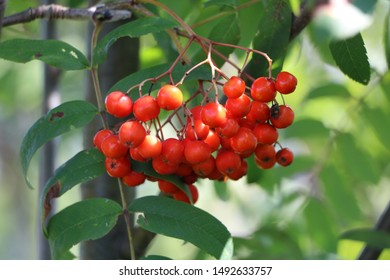 mountain ash, mountain ash on a branch, black mountain ash