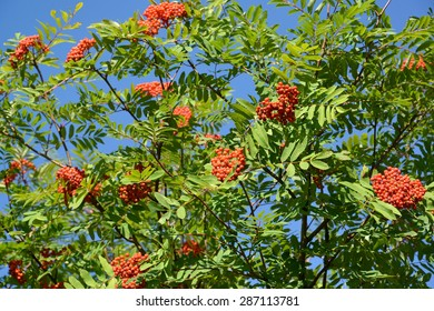 Mountain ash ordinary (Sorbus aucuparia L. ) against the blue sky