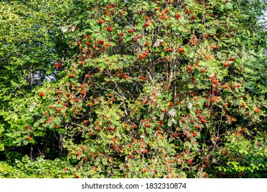 Mountain ash (rowan, Sorbus), deciduous tree of the rose family, with compound leaves and red berries in Beskid Mountains, Poland.