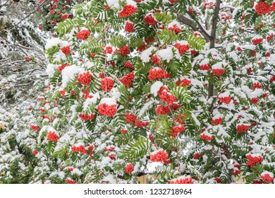 Mountain ash, Sorbus aucuparia, red fruits and green leaves covered with snow in fall season