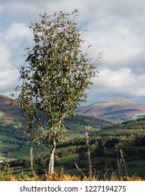 Mountain Ash tree in front of Sugarloaf hill in Brecon Beacons National Park, Wales.