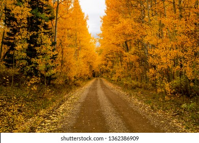 Mountain backroad covered with fallen leaves in aspen tree forest and changing yellow aspen trees
