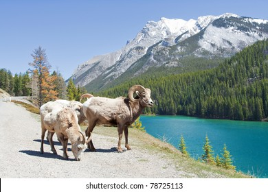 Mountain Bighorn Sheep on Lake Minnewanka, Alberta, Canada