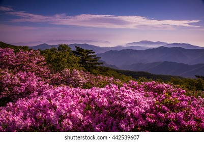 A mountain in the blossoms at sunrise.