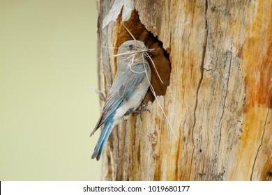 A Mountain Bluebird with nest material