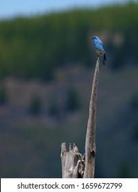 Mountain bluebird, Yellowstone national park, USA