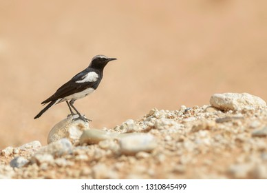 Mountain Chat - Myrmecocichla monticola, beautiful perching bird from southern African gardens and bushes, Sossusvlei, Namibia.