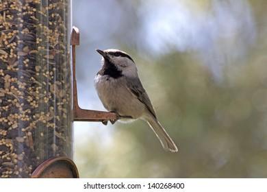 A mountain chickadee bird sitting on a backyard feeder