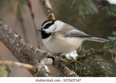 Mountain Chickadee on a branch