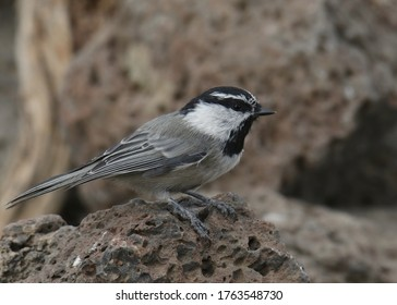 Mountain Chickadee (poecile gambeli) perched on a rock