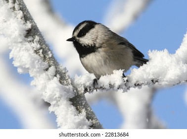 Mountain Chickadee in the snow