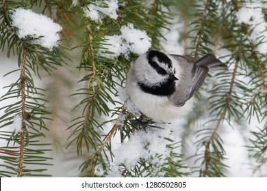 Mountain Chickadee, Winter Powder
