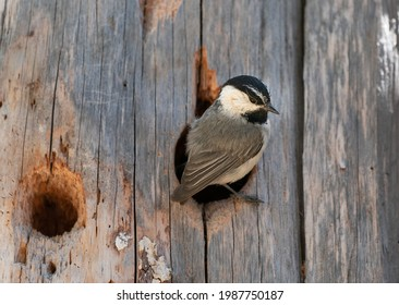 Mountain Chickadees nest in cavities in trees in the Sierra Nevada mountains.  The female is sitting on eggs. Recent research shows these chickadees are fast learners with prodigious memories.