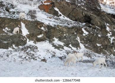 Mountain climbing dall sheep