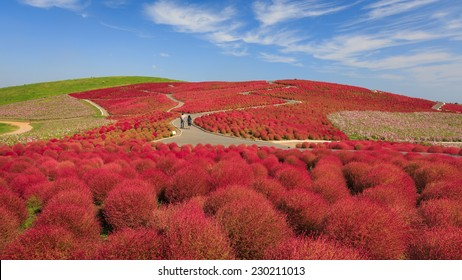 Mountain, Cosmos and Kochia at Hitachi Seaside Park in autumn with blue sky and lover at Ibaraki, Japan