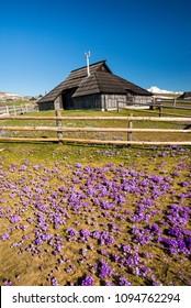 Mountain cottage hut or house on idyllic hill Velika Planina / Big Pasture Plateau in spring with crocuses in Velika Planina, Slovenia.