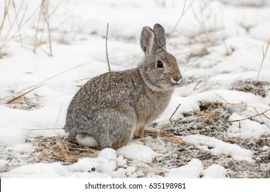 Mountain cottontail rabbit on snow with dead grass