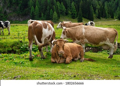 Mountain cow with horns, domestic cattle on pasture