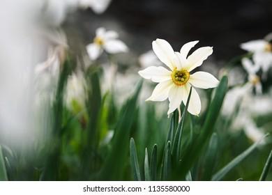 mountain daffodil macro