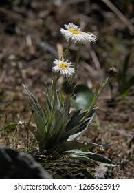 Mountain Daisy (Celmisia semicordata) - Upper Otira Valley
