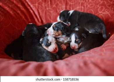 mountain dog puppies in bed