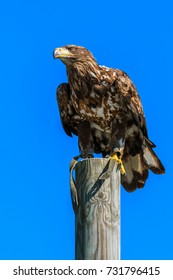 Mountain eagle sitting on a pole