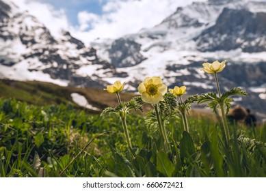 Mountain flower meadow in springtime in the swiss Alps. European landscape, Switzerland 2017