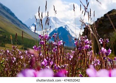 mountain flowers, mountain, flowers, glaicer, Altai