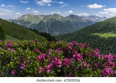 Mountain flowers on the background of the peaks. Dolomites. Italy