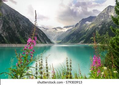mountain flowers at reservoir lake Schlegeisstausee in Zillertal Alps near village Mayrhofen in Austria Tyrol Tirol