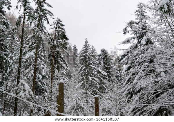 Mountain forest covered with snow