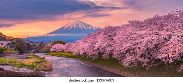 Mountain fuji in cherry blossom season during sunset.