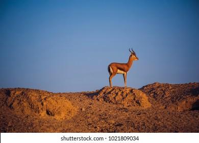 Mountain Gazelle at the sunset on Sir Bani Yas Island Abu Dhabi